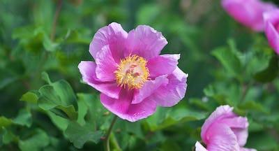 Peony portrait flower.