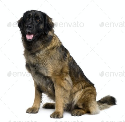 Leonberger dog, 1 year old, sitting in front of white background
