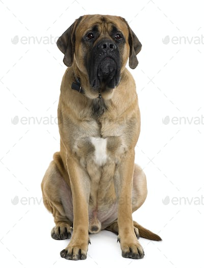 English Mastiff dog, 2 months old, sitting in front of white background