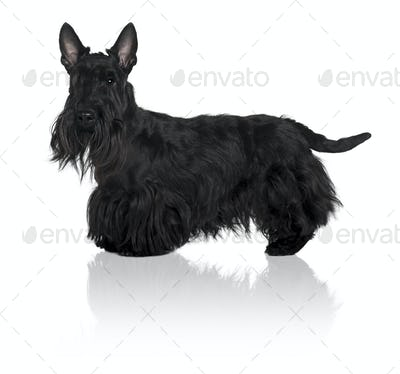 Schnauzer Terrier, 1 year old, standing in front of white background