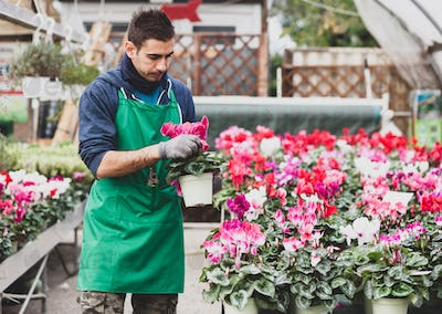 Young gardener planting Cyclamen flowers in greenhouse.