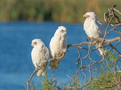 Three Little Corellas on a Branch
