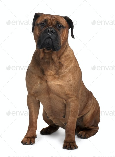 Bullmastiff dog, 4 years old, sitting in front of white background