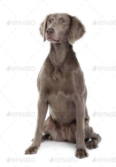 Long-haired Weimaraner dog, 2 years old, sitting in front of white background