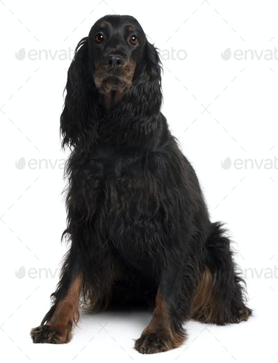 Gordon Setter dog, 7 years old, sitting in front of white background