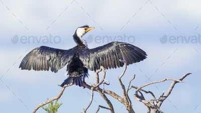 Little Pied Cormorant Drying its Wings