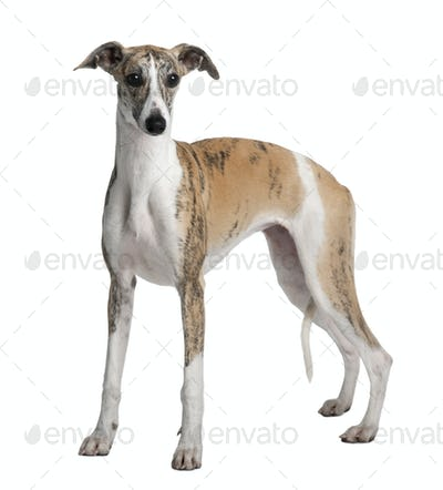 Young Whippet, 8 months old, standing in front of white background