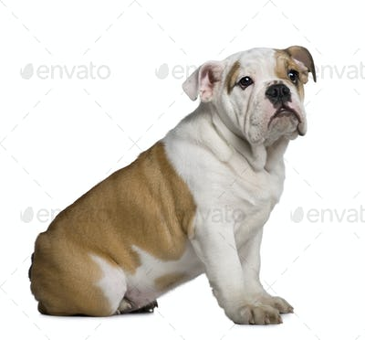 English Bulldog puppy, 3 months old, sitting in front of white background