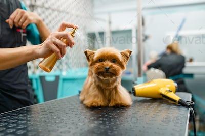 Female groomer spraying a cute dog with parfume