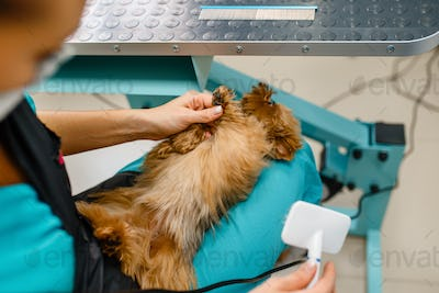 Female groomer with comb and little dog, grooming
