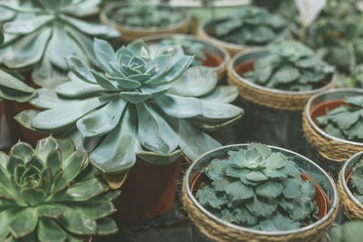 Plenty of succulent pots on wooden table. Home garden