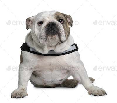 English bulldog sitting in front of white background