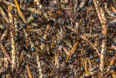 Formica Ants colony