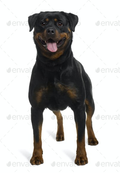 Rottweiler, 2 years old, standing in front of white background