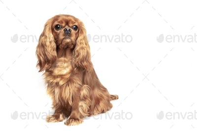 Ruby Cavalier Spaniel isolated on white background