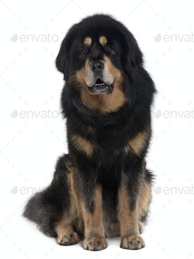 Tibetan mastiff dog, 4 years old, sitting in front of white background