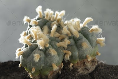 Old, rare and big three headed lophophora williamsii, Peyote