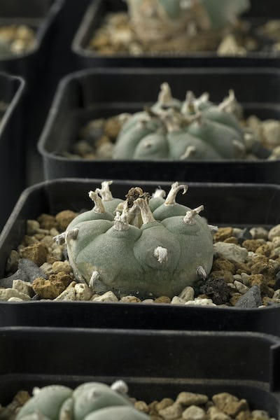 Green Peyote cactus in pots close up