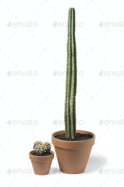 Three headed lophophora williamsii, Peyote and San Pedro cactus
