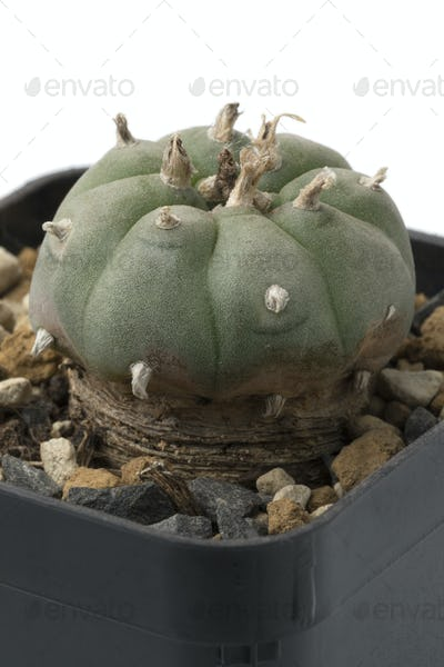 Green Peyote cactus in a pot