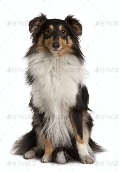 Shetland Sheepdog, 2 years old, sitting in front of white background