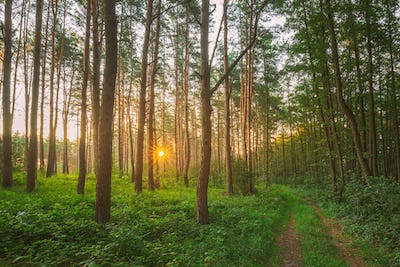 Road, Path, Walkway Through Sunny Forest. Sunset Sunrise In Summer Coniferous Forest Trees. Pine