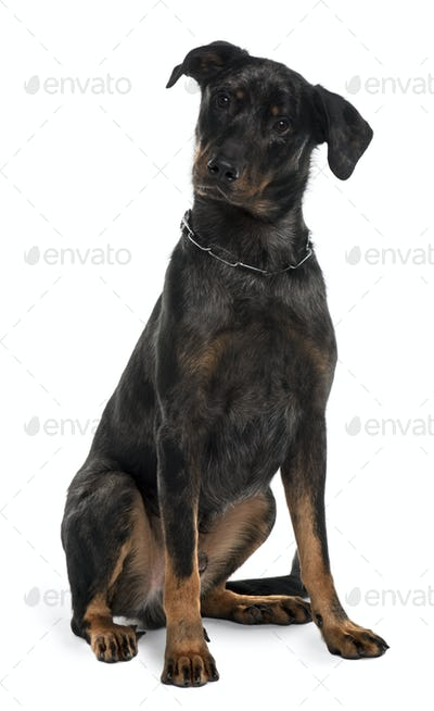Beauceron dog, 10 Months Old, sitting in front of white background