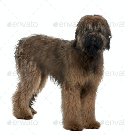 Briard, 6 Months Old, standing in front of white background