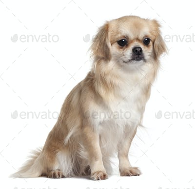 Tibet Spaniel, 2 Years Old, sitting in front of white background