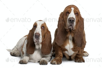 Two Basset Hounds, 2 years old, sitting in front of white background
