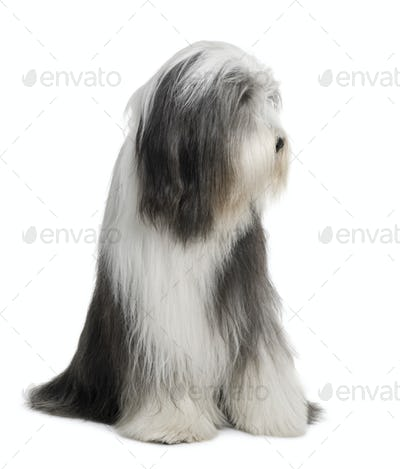 Bearded Collie, 4 years old, sitting in front of white background