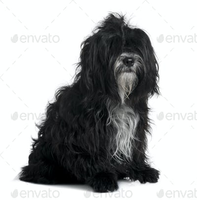 Tibetan terrier, 5 years old, sitting in front of white background