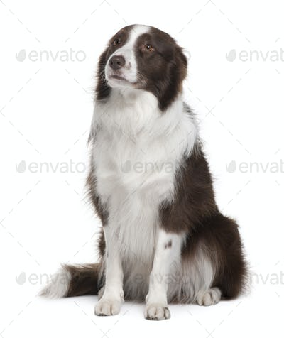 Border Collie, 5 Years Old, sitting in front of white background