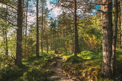 Kinsarvik, Hordaland, Norway. Beautiful Summer Coniferous Forest In Sunny Day. Green Pine Woods In