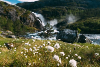 Kinsarvik, Hordaland, Norway. Norwegian Landscape With Mountains Cotton Grass, Cotton-grass Or