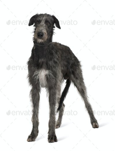 Irish Wolfhound, standing in front of white background
