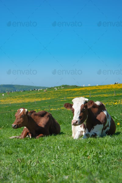 Cows grazing on a green summer meadow under blue clear sky in NRW, Germany