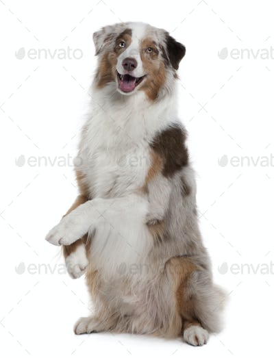 Australian Shepherd dog, 4 Years Old, sitting in front of white background