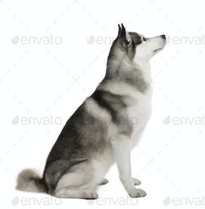 Akita Inu, 3 years old, sitting in front of white background