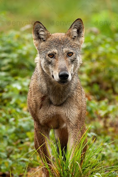 A beautiful grey wolf with orange eyes portraited in the forest