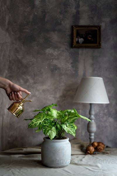 Woman spraying syngonium plant in her home