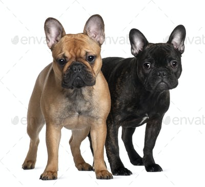 Two French Bulldogs, 1 year old and 6 Months old, standing in front of white background