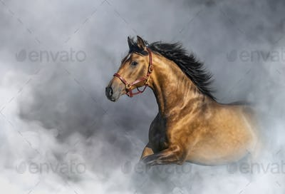 Andalusian horse in halter in light smoke with space for text.