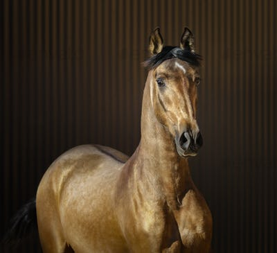Golden dun young Spanish horse on striped background.