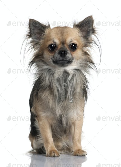 Long-haired Chihuahua, 2 years old, sitting in front of white background