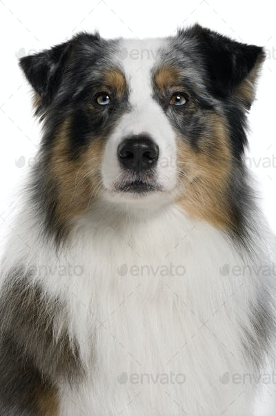 Australian Shepherd dog, 3 years old, in front of white background
