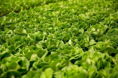 Close up of fresh salad plantation in modern greenhouse