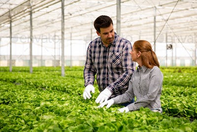 Two agronomist engineers discuss the salad plantation