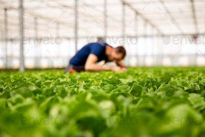 Worker in a modern greenhouse looking at salad crop