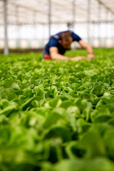 Worker analyzing salad plants in the background